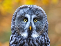 Great Grey Owl Photo credit to Zdenek Machacek
