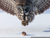 Great Grey Owl Strix nebulosa and unsuspecting prey by Tom Samuelson