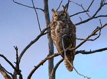 Great horned owl at the last light of day