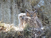 Great Horned Owl Bubo virginianus mother with her chick