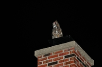 Great Horned Owl Bubo virginianus  On my chimney making all sorts of noise close to midnight