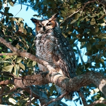 Great horned owl i spotted in south Florida this morning