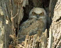 Great Horned Owlet Bubo virginianus means business