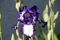 Great looking Iris from my yard