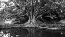 Great Oak by still water of a river