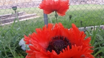 Great Red Poppy papaver bracteatum