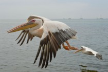 Great White Pelican Pelecanus onocrotalus in flight - Walvis Bay Namibia
