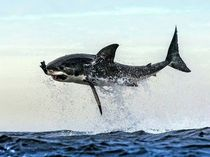 Great White Shark Carcharodon carcharias hunting seals off the coast of Cape Town South Africa