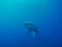 Great White Shark off Guadalupe Island Mexico