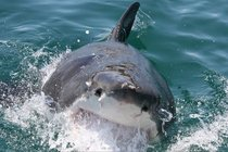 Great White Shark photographed by my dad while we were on a cage-diving trip in SA