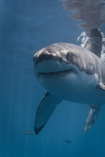 Great white shark- shot off Isla Guadalupe this past September