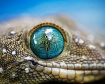 Green Eyed Gecko x-post from rpics