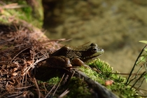 Green Frog Lithobates clamitans