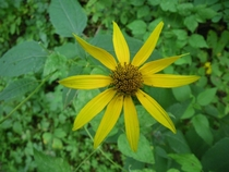 Green-headed Coneflower Cutleaf Coneflower Rudbeckia laciniata