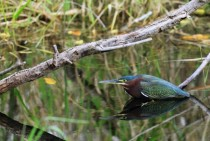 Green Heron Butorides virescens  - Everglades National Park