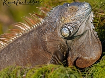Green Iguana up close and personal x OC
