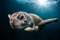 Green Turtle by Greg Lecoeur