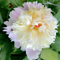 Greetings new to the group zone  and this is a Lady Alexandra Duffheirloom peony