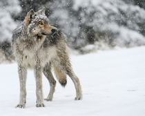 Grey Wolf Canis Lupus in the falling snow