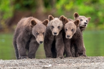 Grizzly Bear Cubs  photo by Sergei Ivanov