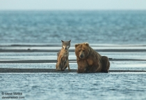 Grizzly bear Ursus arctos horribilis and gray wolf Canis lupus looking for fish