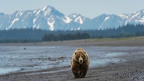 Grizzly Bear Ursus arctos horribilis walking on the beach  x-post rBearWithaView