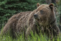 Grizzly brown bear Jasper National Park Photo credit to Richard Lee