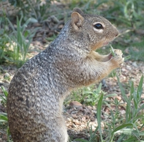 Ground squirrel Otospermophilus variegatus Having a snack  x