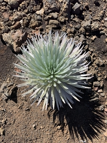Haleakala silversword Argyroxiphium sandwicense subsp macrocephalum can live up to  years