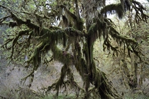 Hall of Mosses in the Hoh Rain Forest