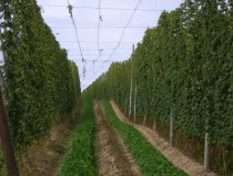 Hallertau hop field Germany