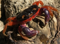 Halloween Crab Gecarcinus Quadratos x