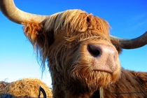 Hamish the Highland Coo Callendar Scotland