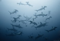 Hammerhead Sharks off the cost of Costa Rica  photo by Alexander Safonov