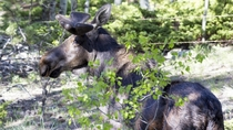 Handsome young moose stopped by to say hello Alces alces