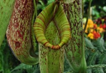 Hanging pitcher plants