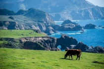 Happy cows in Big Sur CA