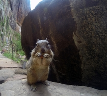 Happy little rock squirrel Zion National Park Utah