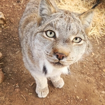 Happy Mew Year My coworker got this super lucky shot of Kaya the Canada Lynx we care for at an AZA certified zoo