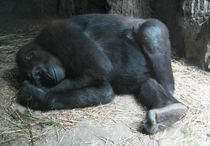 Happy Resting Gorilla