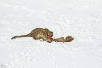 Hard work pays off A male snow leopard enjoying its ibex kill in Hemis National park India