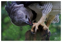 Harpy Eagle Harpia harpyja and its impressive talons