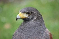 Harris Hawk Parabuteo unicinctus I photographed this weekend
