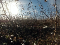 Harvested cotton outside Atmore Alabama US