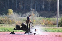Harvesting Cranberries in Carver Massachusetts