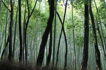 Hauntingly beautiful bamboo forest Arashiyama Kyoto Prefecture Japan