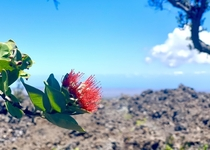 Hawaii Ohia a Lehua Pele fell in love with the warrior Ohia but he loved Lehua In retribution Pele turned Ohia into a tree As a mercy Lehuas deity turned her into the red blossom so the lovers would be joined for all time Ohia is the first tree to grow on
