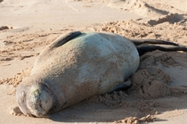 Hawaiian Monk Seal sleeping on Poipu Beach