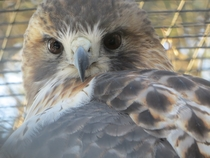 Hawk at Quogue Wildlife Refuge