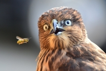 Hawk shocked by a bee fly-by by Elena Murzyn